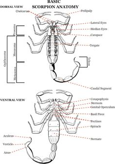 Scorpion Diagram Labeled - Online Schematic Diagram •