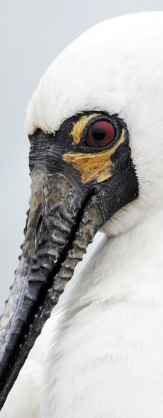 Black-faced Spoonbill: Adult black-faced spoonbills have red eyes and yellow patches on their cheeks. Male black-faced spoonbills can be distinguished from females by their longer bills; while the bills of immature birds are a pinkish-grey rather than black.