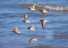 Ringed Plover Flight  by Rob Ireland, via Flickr
