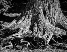 Tree Roots Photograph is a classic example of natures endurance and adaptation. I love trees that grip on to rock, grow up walls and Birch Tree Mural, Willow Tree Wedding, Tree Of Life Artwork, Willow Tree Tattoos, Old Trees, Tree Illustration, Tree Roots, Tree Photography, Tree Silhouette