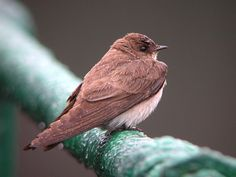Northern Rough-winged Swallow.  April 29, 1983  Saranac Lake HS Pond. flies w/ gliding wings back & forth, not as flity as Bank Swallow. Photo by Glen Tepke