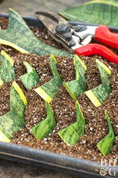 snake plant leaf cutting with red pruners Whether you are starting from seed or dividing an established plant, there are plenty of easy ways to multiply your houseplants. Succulents Garden, Garden Plants, Indoor Plants, Planting Flowers, Pond Plants, Propagating Succulents, Propogating Plants, Cactus Plants, Flowering House Plants