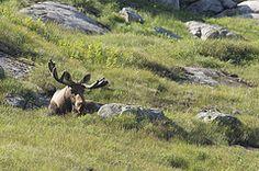 Bull Moose, Gros Morne National Park