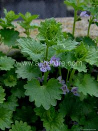 Ground Ivy - Make as a tincture