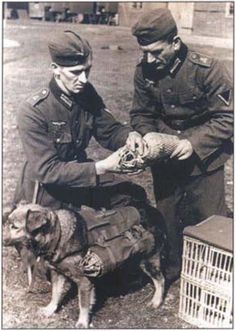 WW2 Germans soldiers put messenger pigeons  in a bag dog