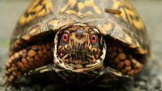 So schaut eine Schildkröte aus während sie auf die rote Ampel wartet.