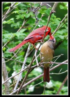 I have few pairs cardinal residents live around my backyard. In early  April, I discovered a female cardinal bring some nesting material and  decided to ...