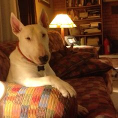 Pleasant evening discussion with Ziggy, my Bull Terrier!