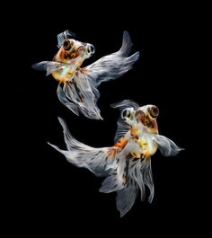 Visarute Angkatavanich, a Thai photographer, shows the beauty of the Siamese Fighting Fish through his images. The images are so clean and crisp, that the fish look like they are floating in mid-air.