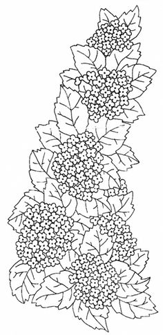 Hydrangea Line Drawing photo
