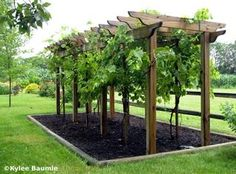Grape arbor plans How to build a grape arbor arch trellis with a pergola, How to build a grape arbor arch trellis wi. Grape Vine Trellis, Grape Vines, Grape Tree, Backyard Pergola, Backyard Landscaping, Cheap Pergola, Backyard Ideas, Landscaping Ideas, Backyard Vineyard