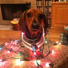 When your hooman doesnt need a christmas tree because they got you already IG @ruffin_it_with_roger #sausagedoglove