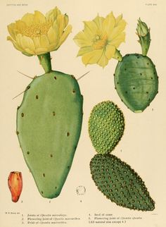 v.1 - The Cactaceae : - Biodiversity Heritage Library