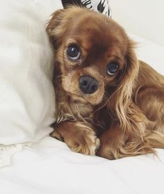 Cavalier King Charles Spaniel Facts - Cats and Dogs House King Charles Puppy, Cavalier King Charles Dog, King Charles Spaniel, Cute Dogs And Puppies, Baby Dogs, I Love Dogs, Doggies, Perro Shih Tzu, Cockerspaniel