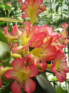 Lovely Pink & Yellow Rhododendron