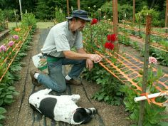 Mesh support system for Dahlias from Clearview Dahlias.