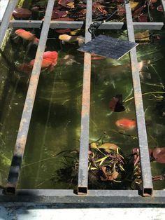 Goldfish at Old Ormondville Police Station October 2017