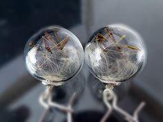 Ohrhänger - WISH Ohrhänger echte Pusteblumen Glaskugel silber - ein Designerstück von Kleines-Karma bei DaWanda
