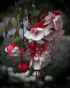 lovely red & white flowers