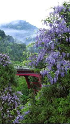 Bridge of Romance. Wisteria - Kyoto, Japan