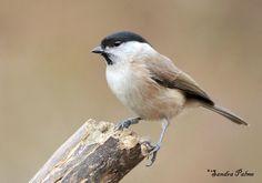 Marsh Tit - bird photos by Sandra Palme