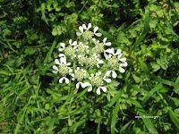 Καυκαλήθρα-Tordylium apulum Home And Garden, Herbs, Blog, House, Home, Herb, Blogging, Homes, Houses