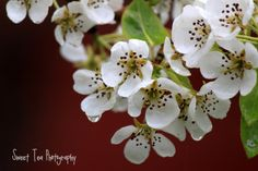 Pear in Bloom Art Photography 8x10 by sweetteabyme on Etsy, $20.00