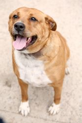 Storm is an adoptable Retriever Dog in South Orange, NJ. Storm is a special needs girl who needs a lot of love. She is a Red Fox Retriever who has spent a considerable part of her life in the shelter....