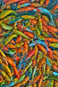 Alarmingly colorful, but NO good smell is going to come outta that! multicolor koi  - Allan Alpasan