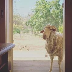 Can I come in? Posted 2 Dec 2016, 9:21am  Our Pic of the Week is this hot and dusty sheep, longingly eyeing off the cool and shade indoors at Menindee, NSW.  ABC Open contributor sophiadesigns