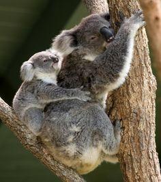 Koala | Koala Walk This Saturday Afternoon!