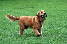 El golden retriever o cobrador dorado es una raza de perro que se desarrolló en el Reino Unido, más concretamente en Escocia, alrededor de 1850. Con sus características de perro cobrador, sabueso, bloodhound y spaniel de agua, es un hábil perro de caza con aptitudes para el rastreo. Posee una disposición amigable y una actitud que lo ha convertido en la tercera raza familiar más popula