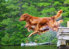 Photos of our Goldens jumping off a dock on a lake in New Hampshire.