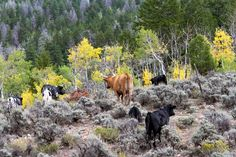 Seeing the turning Aspens on the fall cattle drive.
