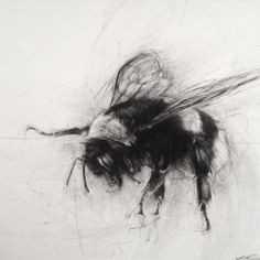 Buff-tailed Bumblebee, another view... I like this angle #charcoal #charcoaldrawing #bombus #beesknees #contemporaryart #bumblebees #workonpaper