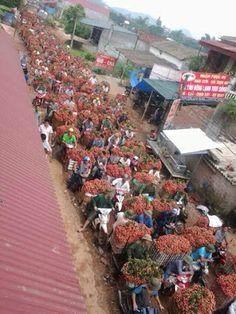 Saison des litchis à Luc Ngan, Bac Giang / Mùa vải thiều ở Lục Ngạn, Bắc Giang. Photographe inconnu