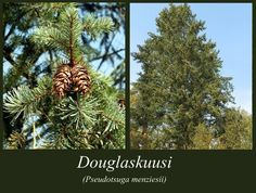 Douglaskuusi - puulajipuisto Plants, Plant, Planets