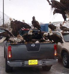 Apparently Bald Eagles are the pigeons of Alaska