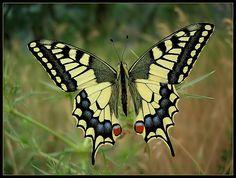 Papilio machaon - Поиск в Google