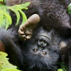 Adorable Baby Mountain Gorilla in Bwindi Forest, Uganda.