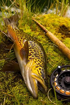 Looks like a tiger trout?  What a beauty.