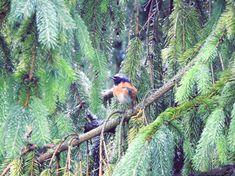 Pleszka Common redstart Wordpress, Bird, Animals, Fotografia, Animales, Animaux, Birds, Animal, Animais
