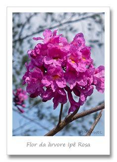 Flor do Ypê Rosa - Brasil