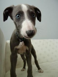 Whippet.... look at those eyes!