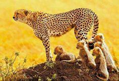Familie von Geparden.