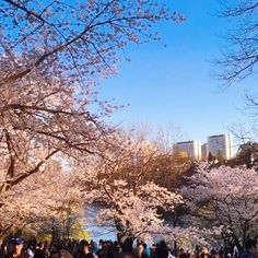The Japanese Sakura Tree blossoms around the world midway through the spring season. Its beautiful pink floral blooms open up, showing off the truest beauty that Earth has to offer. Open Up, True Beauty, Blossoms, Around The Worlds, Country Roads, Earth, Japanese, Deep, Seasons