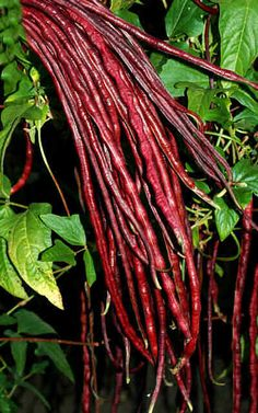 """Chinese red noodle beans - are unusual red colour, up to 22"""" long and are sweet and tender. The red colour holds in stir-fries and sautes but is lost in longer cooking."""