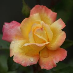 roos in mijn tuin kerst in mijn tuin komachterom.blogspot.nl