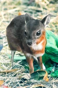 Baby Royal Antelop