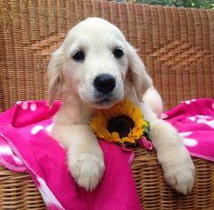Un maschietto di golden retriever in fiore :-)